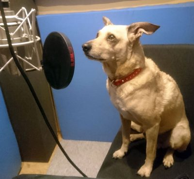 Gasthund Socke in meiner Sprecherkabine